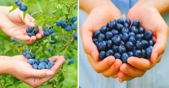 تصویر برداشت میوه در فرآیند پرورش بلوبری