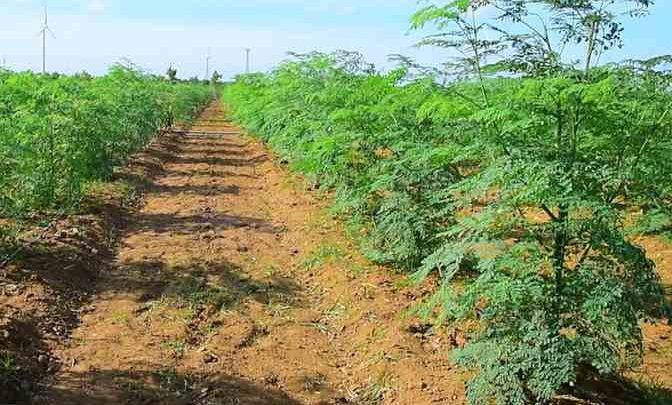 آموزش کاشت و فرآوری درخت گز روغن یا مورینگا
