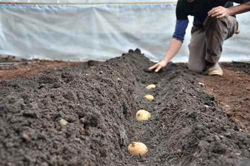 تصویر روش كاشت سیب زمینی