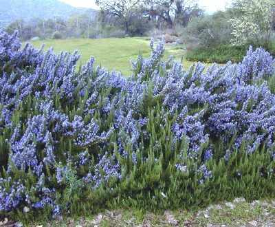 کاشت و پرورش گیاه رزماری