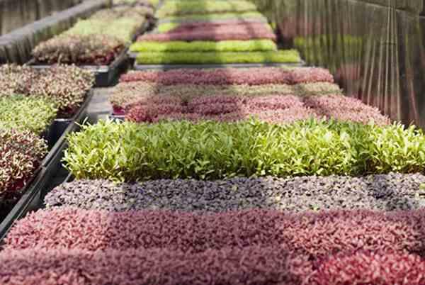 طرح کاشت و پرورش ميكروگرين ها