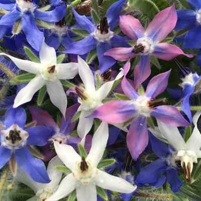 تصویر گیاه شناسی گل گاوزبان