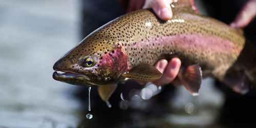 تصویر ماهی قزل آلا رنگین کمان