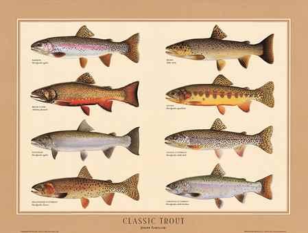 تصویر انواع ماهی قزل آلا