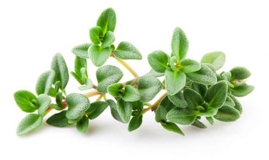 تصویر گیاه آویشن