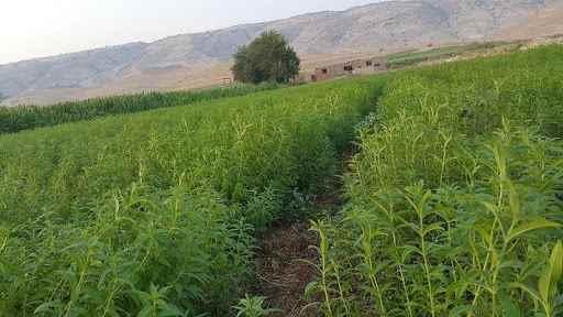 مزرعه گیاه آویشن