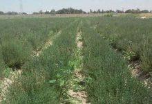 Photo of آموزش طرح کاشت گیاه آویشن بصورت کامل