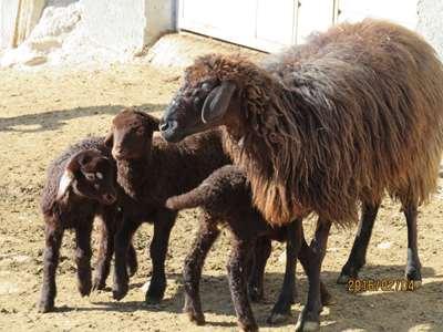 دوقولوزایی و بره پرواری گوسفند افشاری