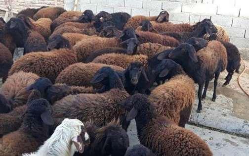 بره پرواری گوسفند افشاری