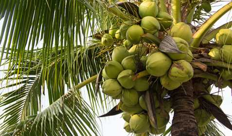 آموزش كاشت درخت نارگيل