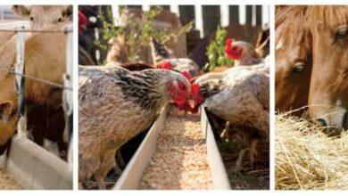 تصویر از طرح توجیهی توليد مکمل خوراک دام و طيور