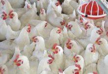 دوره آموزش حضوری و آنلاین پرورش مرغ گوشتی و تخمگذار