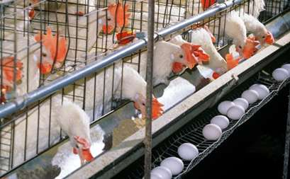 پرورش مرغ گوشتی یا تخمگذار