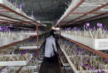 دوره آموزشی کشت زعفران به روش گلخانه (ایروپونیک) و مزرعه